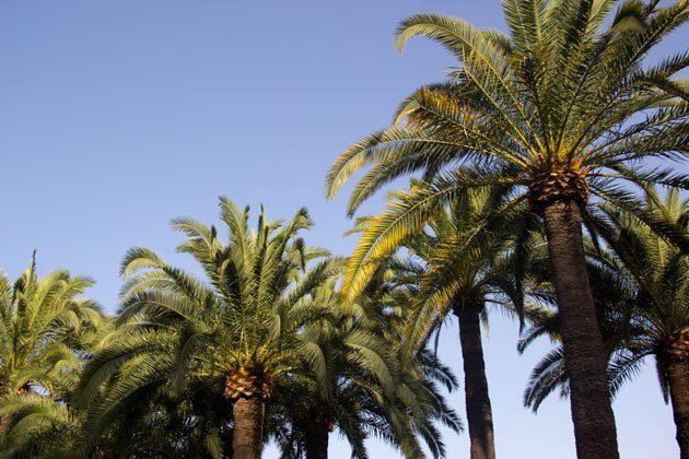 nice-palmiers